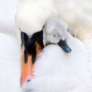 A cygnet becomes a swan regardless to what the ducks think.