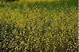A field of Mustard